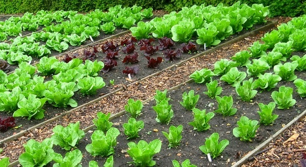 Growing vegetables.