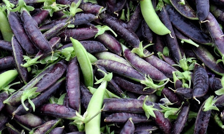 purple podded peas plant