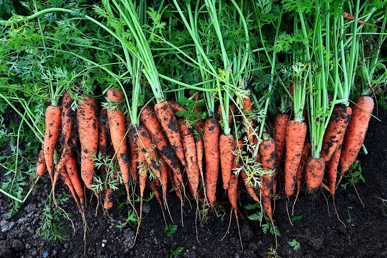 fresh carrots image